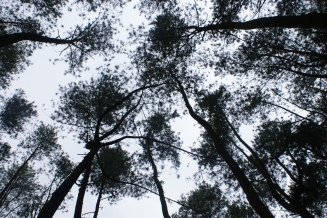 The tops of the pines, such as scrambling
